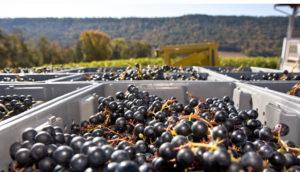 wine-harvesting-season-blog